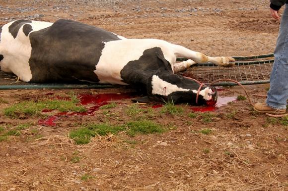 Почему корова стонет когда лежит