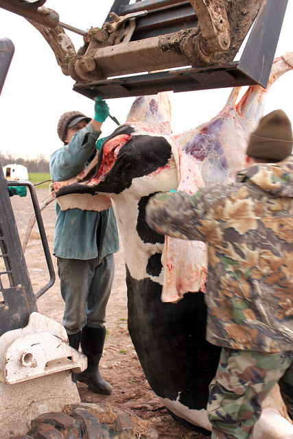 Забой и разделка коровы