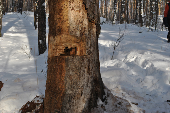 Рубка дерева на дрова