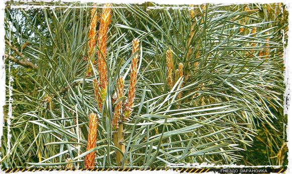 Пряжа из сосновых иголок - лесная шерсть